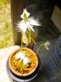 [花][草][植物]サギソウ