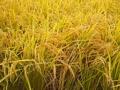 [植物][草]糯稲