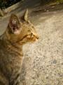 [猫]雉虎猫
