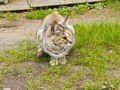 [猫]虎猫