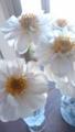 [花][植物]ダリア