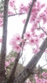 [花][木][植物]サクラ