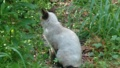 [猫][草]シャム猫