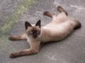 [猫]シャム猫