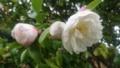 [花][植物]サザンカ