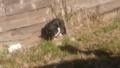 [猫]黒白猫