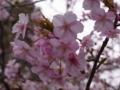[花][植物]カワヅザクラ