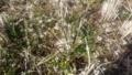 [植物][草][花]タネツケバナ