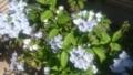 [植物][木][花]ガクアジサイ