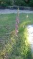 [植物][草][花]ネジバナ