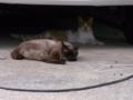 [猫]茶虎猫とシャム猫