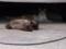 茶虎猫とシャム猫