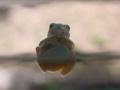 [カエル]アマガエル