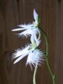 [花][植物]サギソウ