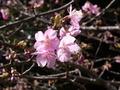 [花][植物]カワズザクラ