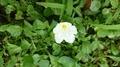 [花][植物][草]ハマヒルガオ?