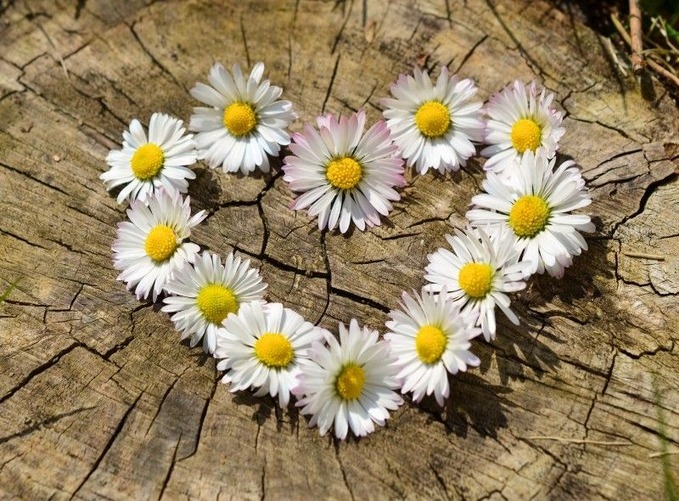 daisy-heart-flowers-flower-heart-spring