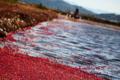 harvest cranberry