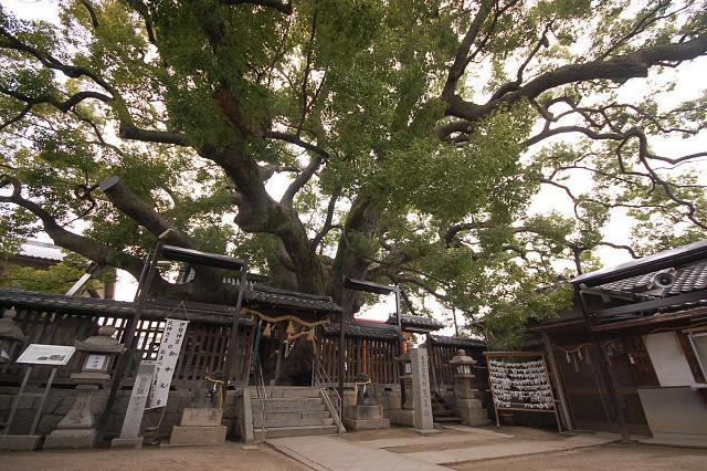 三島神社の薫陶楠