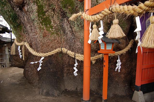 三島神社の薫陶樟