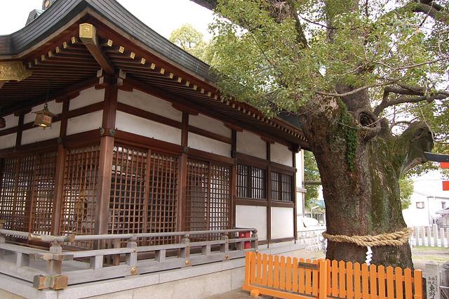 堤根神社のクスノキ