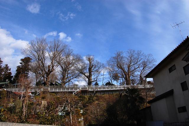 若宮八幡宮のケヤキ