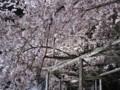 六義園 しだれ桜 ライトアップ 2009
