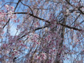 妙法寺 大蔵 しだれ桜 満開 2009