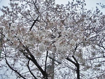 小学校の桜 090401