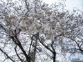 小学校の桜 090331