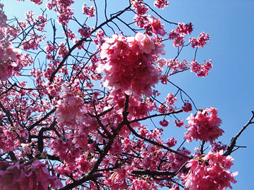 小金井公園 桜 寒緋桜 2009