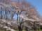 小金井公園 桜 2009