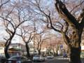 国立 桜並木