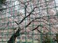 小学校の桜 090403