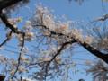 池上本門寺 桜 2009