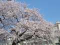 小学校の桜 090407