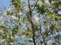 三ッ池公園 桜 2009 大島桜