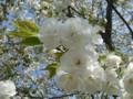 三ッ池公園 桜 2009 白妙