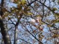 三ッ池公園 桜 2009 紅笠