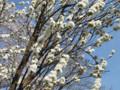 三ッ池公園 桜 2009 照手白