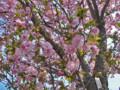 三ッ池公園 桜 2009 紅豊