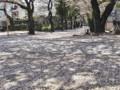 法明寺 参道 桜 2009