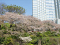 赤プリ グランドプリンスホテル赤坂 桜 2009
