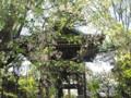 法明寺 桜 しだれ桜 2009
