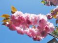 法明寺 桜 関山 2009