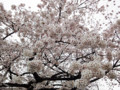 廃校の桜 100402