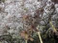 六義園 しだれ桜 ライトアップ 2010