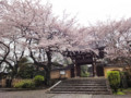 法明寺 桜 100405