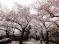 法明寺 桜 100406