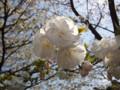 三ッ池公園 桜 2010 白妙